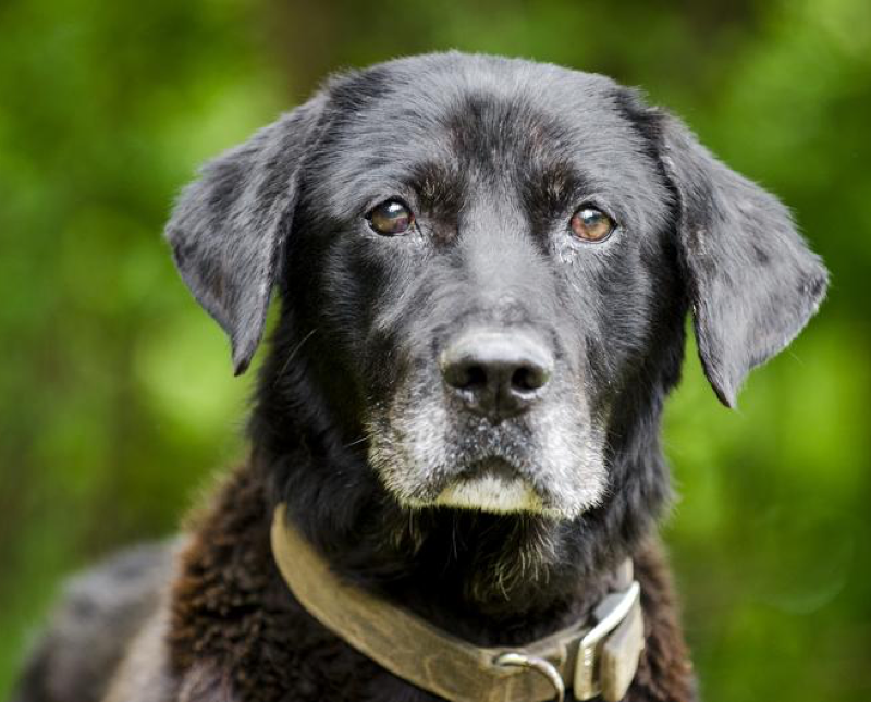 The Benefits of Milk Thistle for Senior Dogs